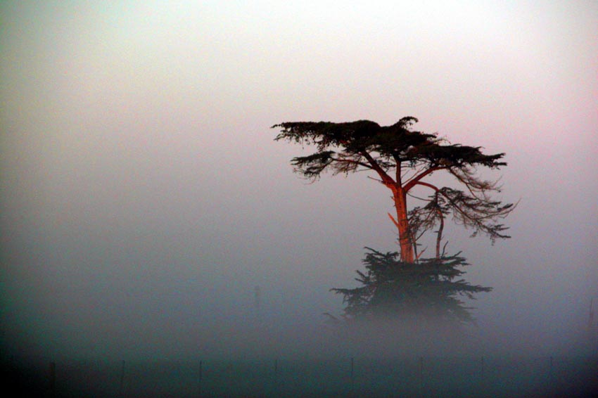 Cypress and Fog