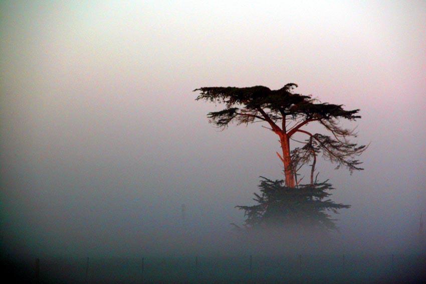 Cypress and Fog
