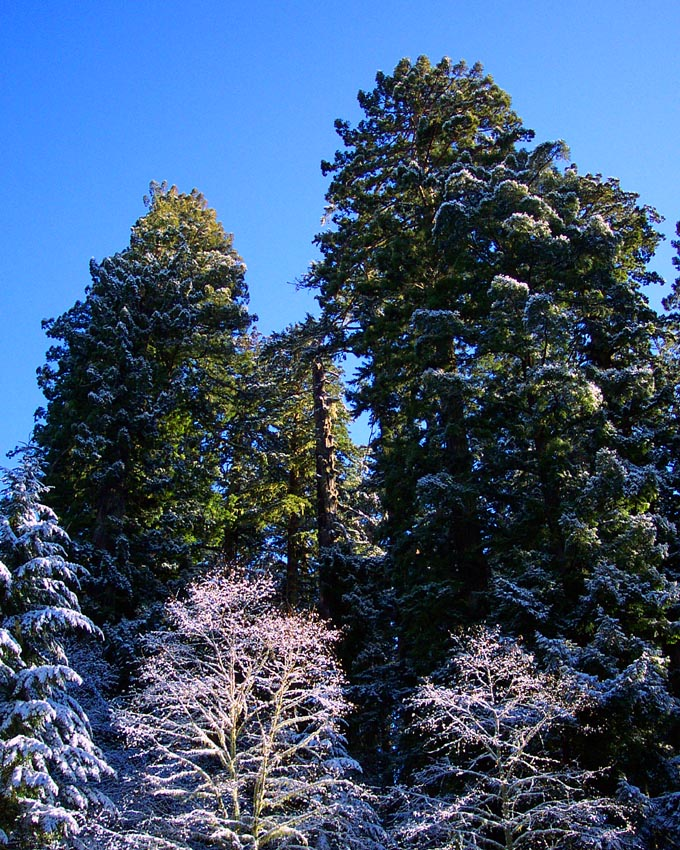 Redwoods with Snow
