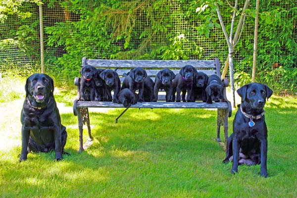 chocolate labrador puppies. File photo Black Lab Puppies